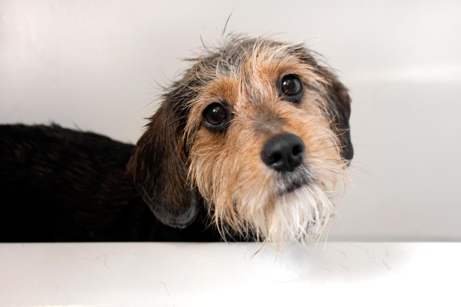 What does it Cost to Groom Your Dog? We Checked for You (US, Aus, and GB) 4