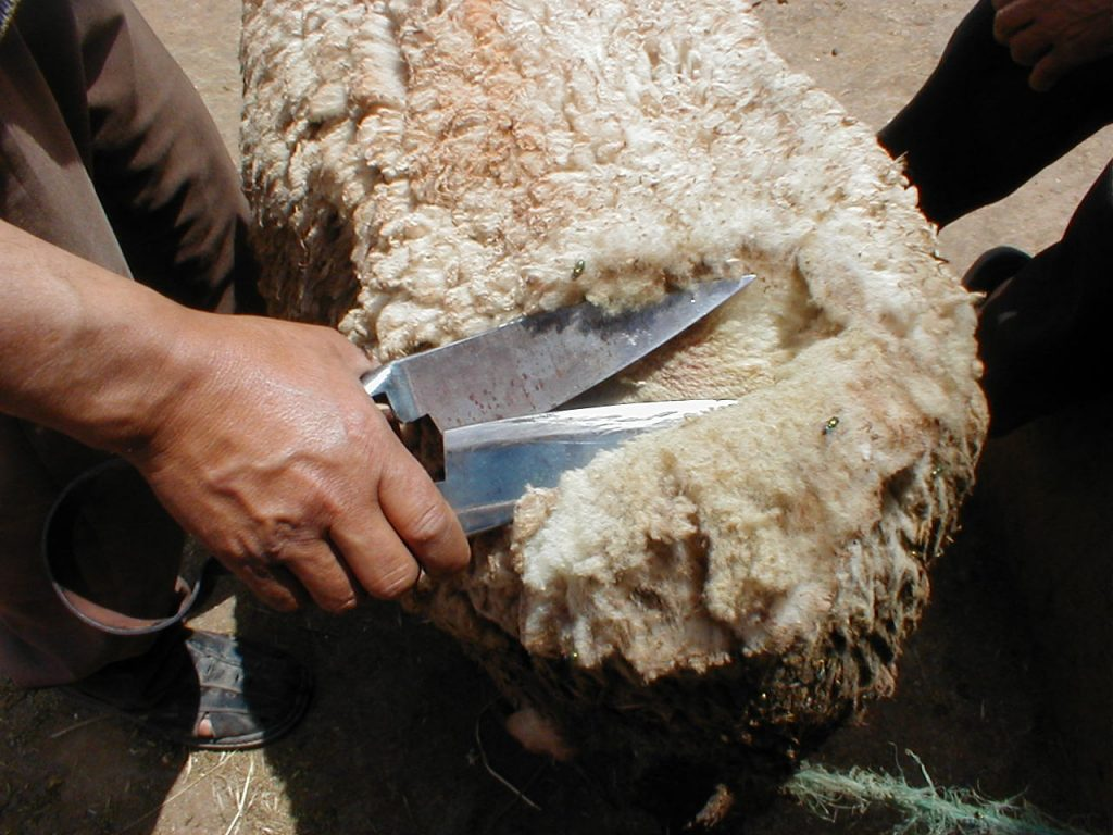 How To Shear A Sheep With Hand Shears 1