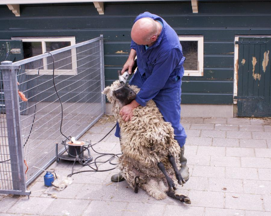 The Complete Guide to Shearing a Sheep 6