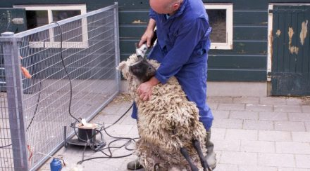 What does it Cost to Shear a sheep? We checked it for you…